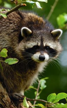 Raccoons can be seen in McKinney Falls State Park in Austin.