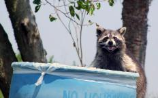 An animal cop may have to remove wild animals, like raccoons, that have entered human areas.