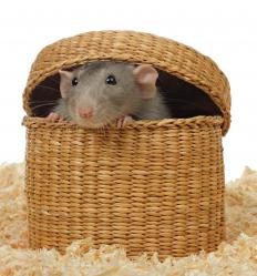 Even rats make shrill sounds when playing.