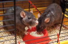 Rats may be used for laboratory tests.