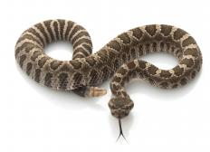 A Northern Pacific rattlesnake.