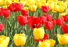 A tulip festival is designed to celebrate the tulip flower.