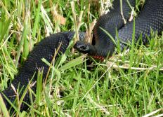 """Black snake"" may refer to the red-bellied black snake that can be found in Australia."