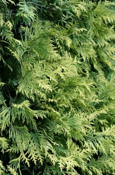 Creeping juniper is a woody plant.