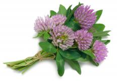 Black ointment often contains red clover blossoms.
