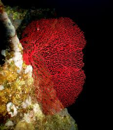 Red chlorophyll comes from microscopic plants that grown in small colonies on coral.