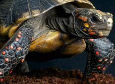 Tortoises may live for well over 100 years.