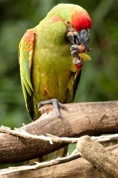 The red-fronted macaw can weigh up to one pound and reach 23.5 inches in length.