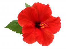 It is important to provide a properly controlled temperature for a hibiscus in winter.