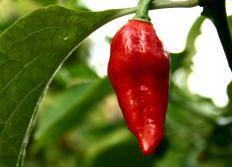 Ghost peppers need warm temperatures and high humidity in order to grow.