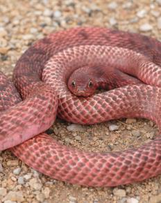 A red racer snake is non-venomous and may also be referred to as a coachwhip snake.