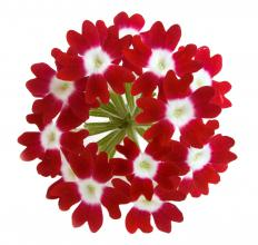 Red verbena's compact flowers would work well in a tussle-mussie.