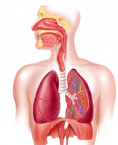 The human respiratory system, with the diaphragm below the lungs.