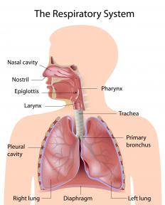 The human respiratory system, showing the bronchial tubes in red.