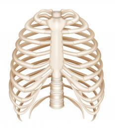 The rib cage surrounds the thoracic part of the ventral cavity.