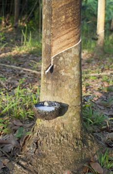 Rubber trees like this are valued for their sap to make rubber, but the wood itself serves many uses.