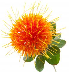 Safflower is a member of the Carthamus genus.