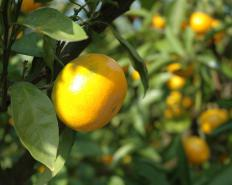 Although satsumas are named after a province in Japan, they originally come from China.