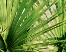 Saw palmetto extract is derived from the berries of the saw palmetto plant.