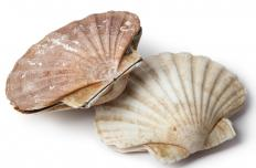 Scallops in their shells.