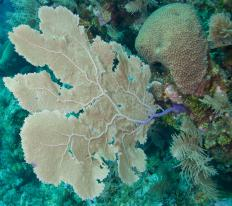 Fan coral is sometimes called sea fans.