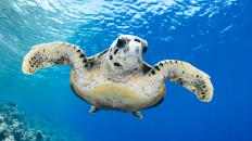 Sea turtles face serious threats in our oceans.