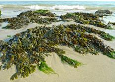 Marine algae is more commonly known as seaweed.