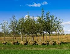Most tree seedlings are sold with dirt surrounding their roots.