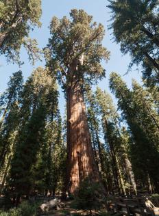 Giant Sequoia trees are the largest trees in North America.
