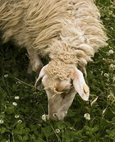 Burlington, Vermont has a Sheep and Wool Festival in September.
