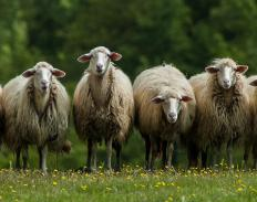 Sheep are commonly affected by bluetongue disease.