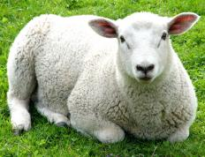 Sheep are bred for wool, meat and milk.