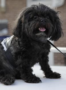 A Shih-Poo is a crossbreed between a Poodle and Shih Tzu, and makes an excellent lap dog.