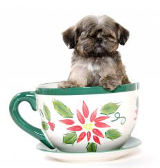 A lap dog like a Shih Tzu might be ideal for apartment living.