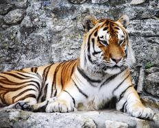 Several subspecies of tigers are critically endangered due to hunting and habitat loss.