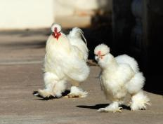 Chickens have a third eyelid.