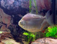 Fish lice are a type of parasite that can infect aquariums.