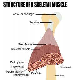 Structural muscle contains a layer of deep fascia.
