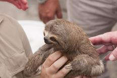 The Dallas World Aquarium has a three-toed sloth on display.