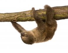 On land a sloth moves quite slowly.