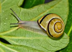 Snails can be very destructive garden pests.