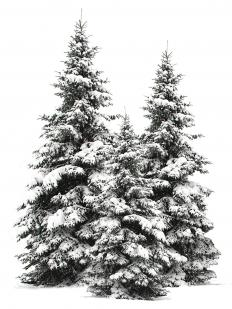 Trees with snow on them.