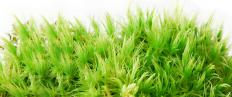 Sphagnum moss can help with the germination of chestnut seeds.
