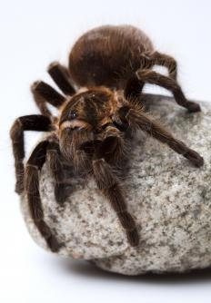 "In Italian, ""tarantula"" can also be spelled ""tarantella."""