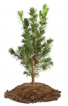 A gymnosperm is a plant that does not have a true flower and does not disperse its seed in fruit.