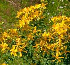 St. John's wort, which is used as a natural antidepressant.