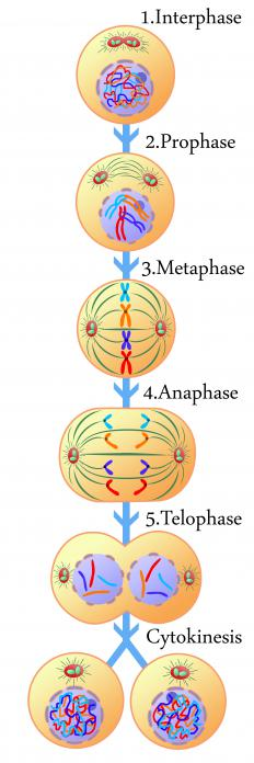 The stages of mitosis.
