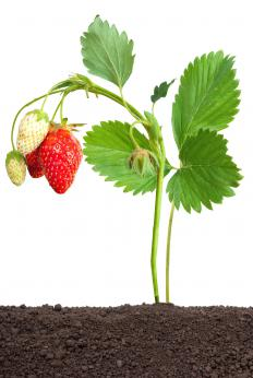 Put mulch on and around delicate strawberry plants to protect them from frost.