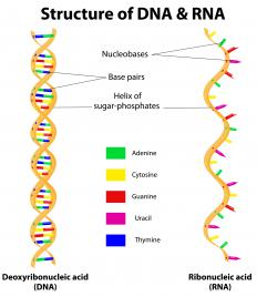 Gene expression occurs when deoxyribonucleic acid (DNA) is converted to ribonucleic acid (RNA) through a process called transcription.