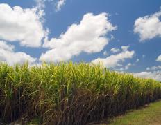 Sugar cane contains disaccharides.